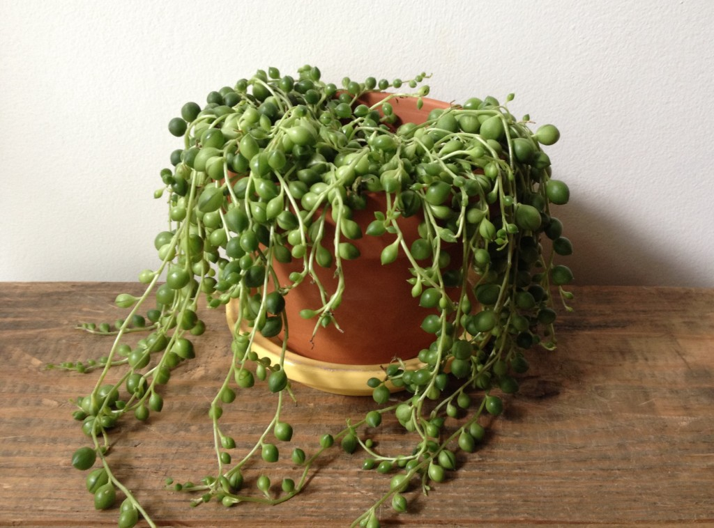 senecio string of pearls plant